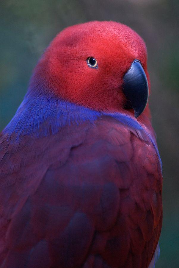 Solomon Eclectus Parrot  by Stefano Heusch, via 500px