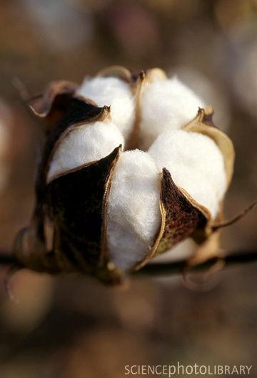 flor de algodón abierta.