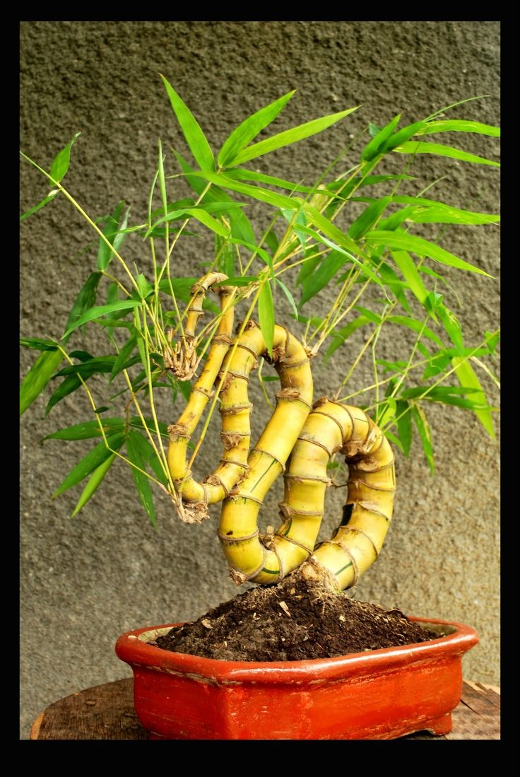 #Feng Shui Bamboo Bonsai - another great idea for a prosperity corner :) maybe add a few coins around the plant :)