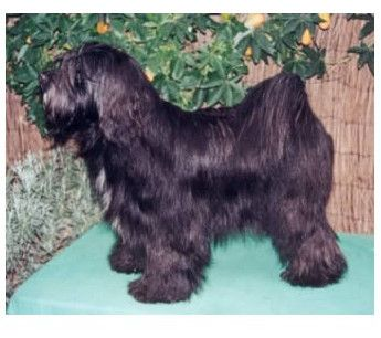 Terrier Tibetano