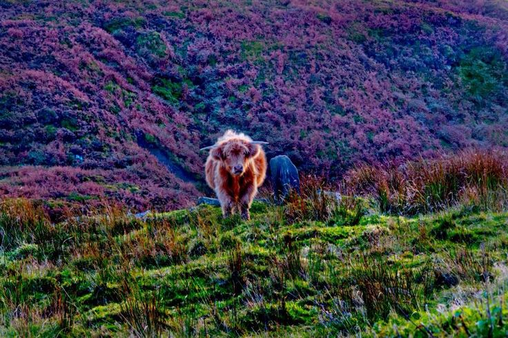 Highland cattle near Top Withens