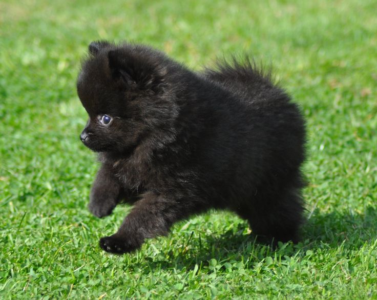 I love little black poms. Is it because I have one!?