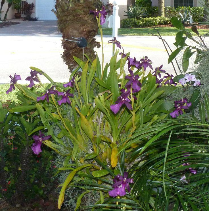 Miltonia spectabilis Moreliana