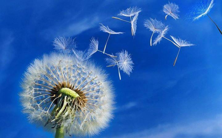 Dente de Leão: Dandelions Seeds, Blue Sky, Dandelions Flying, Skin Problems, Fresh Air, Wind Pebble, Photo, Dandelions Improvement, Flower