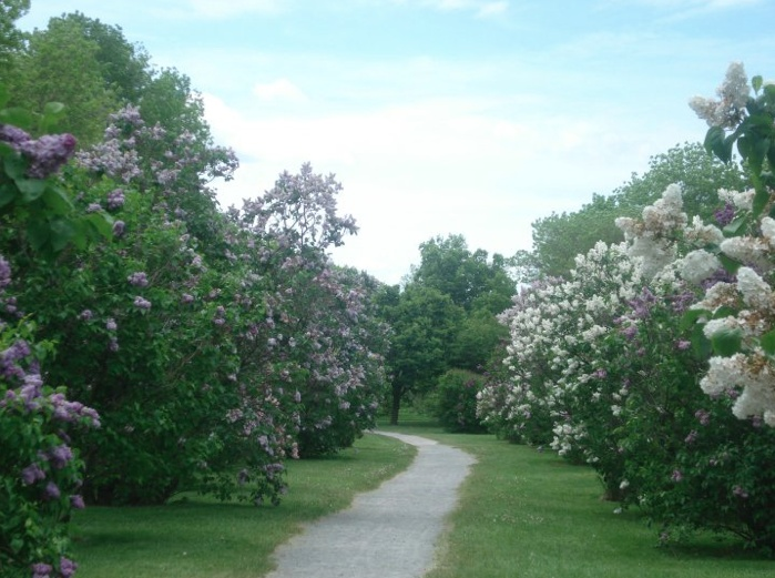 Montreal Botanical Gardens - Lilac Trees.