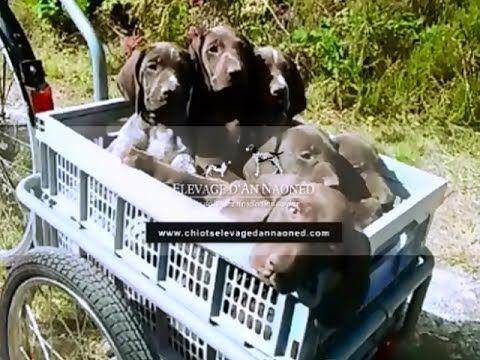 Nouvelle vidéo 🎥 Chiots Braque allemand L.O.F 💜 OK pour le Tour de France ! 🚲 #braqueallemand #gsp #deutschkurzhaar #tdf #bike #bicycle #velo #chien #dog #pet #tdf2017 #tourdefrance #puppy #cute #dogvideo #puppiesoftheday