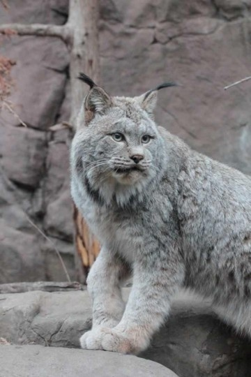 Canada Lynx at Minnesota Zoo Saint Paul, MN - The Canada lynx  or Canadian lynx is a North American felid. It ranges in forest and tundra regions across Canada and into Alaska, as well as some parts of the northern United States. By 2010, after an 11-year effort, it had been successfully reintroduced into Colorado, where it had become extirpated in the 1970s. In 2000, the U.S. Fish and Wildlife Service designated the Canada lynx a threatened species in the lower 48 states.