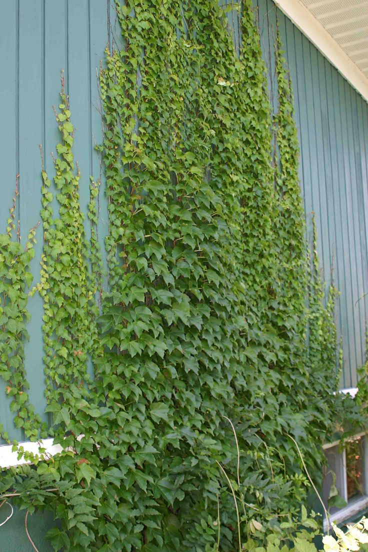 Tip of the day hedera helix creepers and hydrangea for Fast growing climbing plants for screening