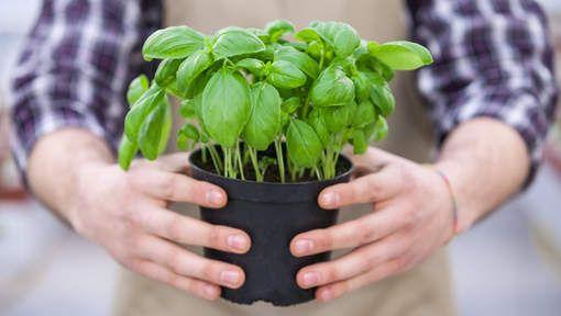 Zo hou je een basilicumplant uit de supermarkt in leven - HLN.be