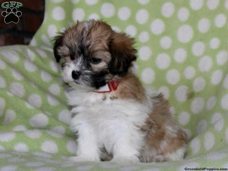 Trixie, Shichon puppy for sale from Quarryville, PA