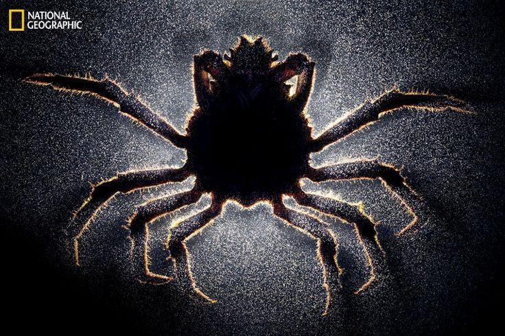 """Bem-vindo ao mundo bizarro onde parasitas obrigam seus hospedeiros a mudarem sua sexualidade. Um caranguejo macho infectado por uma craca parasitóide é literalmente afeminado. Ele para de desenvolver garras para luta e seu abdômen aumenta, virando um """"útero"""" para a craca preencher com sua prole. Alimentados pelo caranguejo, os ovos eclodem. Milhares de bebês nascem para infectar outros caranguejos."""