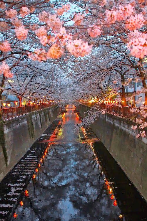 Cherry Blossom River, Kyoto, Japan