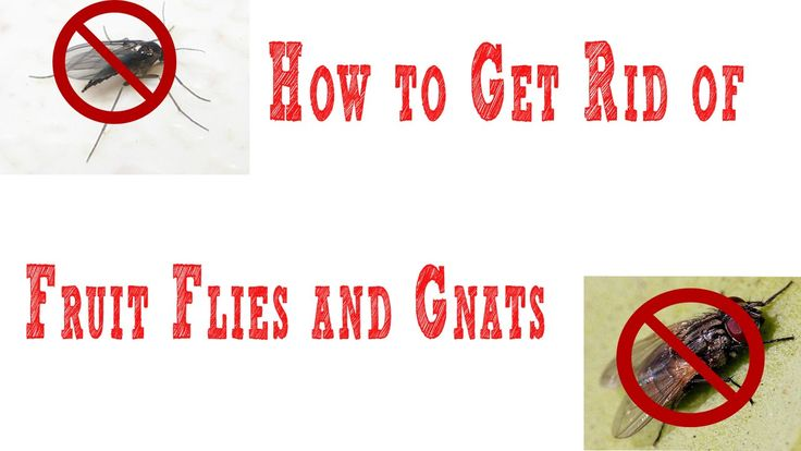 How to Get Rid of #Gnats | how to get rid of #fruit #flies