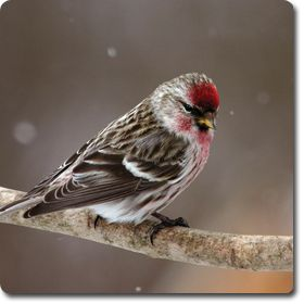 Common #Redpoll U2013 Bird Ou0027 The Day U2013 Backyard Wild #Bird Directory U2013