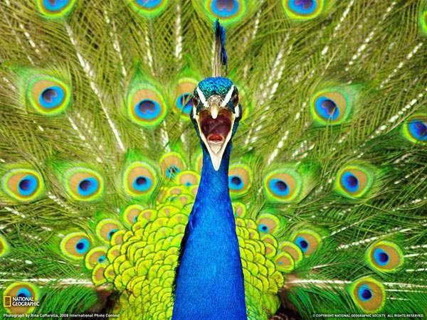 大きく口を開けて鳴く孔雀の顔を撮影した写真壁紙画像
