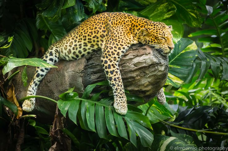 Lazy leopard having an after lunch nap in Bali Safari & Marine Park