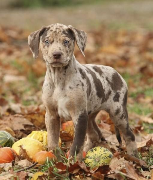 Gorgeous Catahoula .. Never heard if this breed but I'm in love