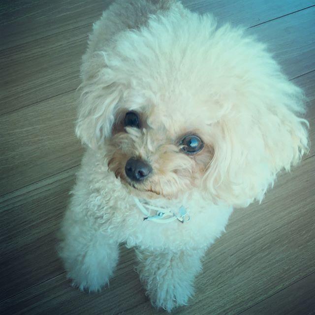 🍩🍪🍭おやつ🐶 #早く欲しい #dog#dogstagram#chihuahua#toypoodle#teacuppoodle#poodle#instadog#mixdog#チワワ#チワワ部#トイプードル#ティーカッププードル#ミックス犬#多頭飼い#愛犬#犬