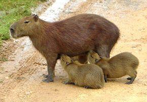 Le cochon d'Inde ou COBAYE COMMUN  est un rongeur de taille moyenne, appartenant à la famille Caviidae et originaire de la cordillère des Andes. C'est l'espèce domestiquée issue du cobaye sauvage appelé Cavia aperea. D'abord élevé pour sa chair dans les pays andins, puis comme animal de laboratoire, le cobaye est aussi souvent adopté comme animal de compagnie par ceux qui apprécient son caractère placide et sa facilité....