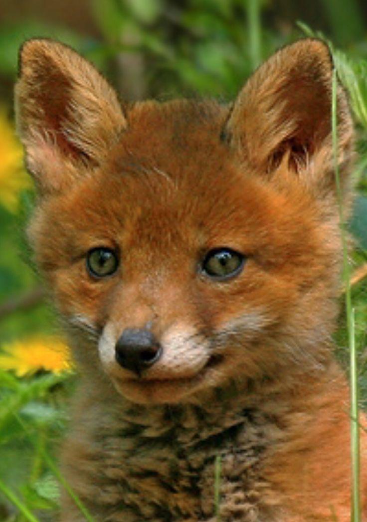 Ein wunderschöner kleiner Fuchs !