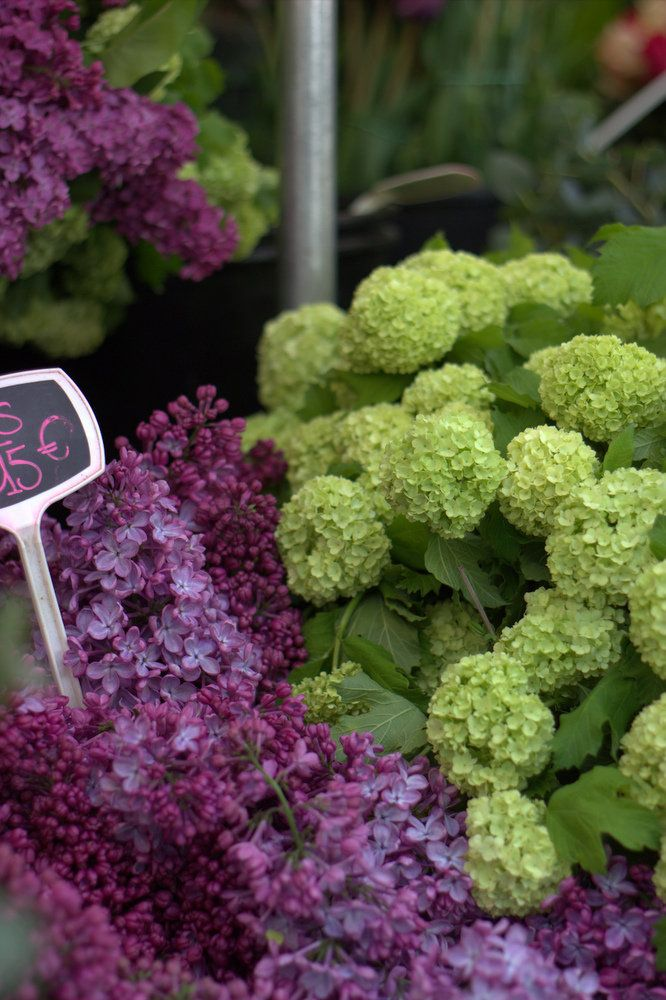 Purple lilac and lime green hydrangea