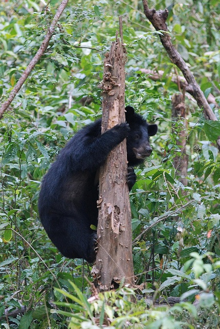 Moon Bear, Cat Tien National Park, Vietnam.