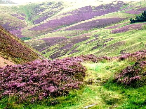 Scottish Highland heather in the fall