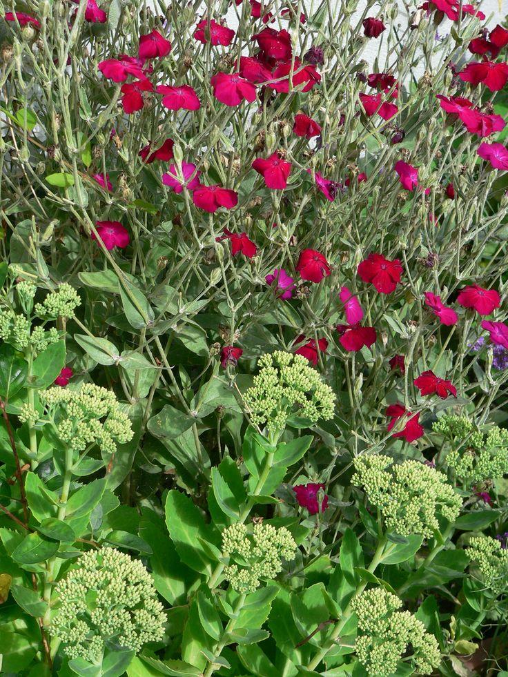Lychnis sp. and Sedum sp. as part of residential garden design