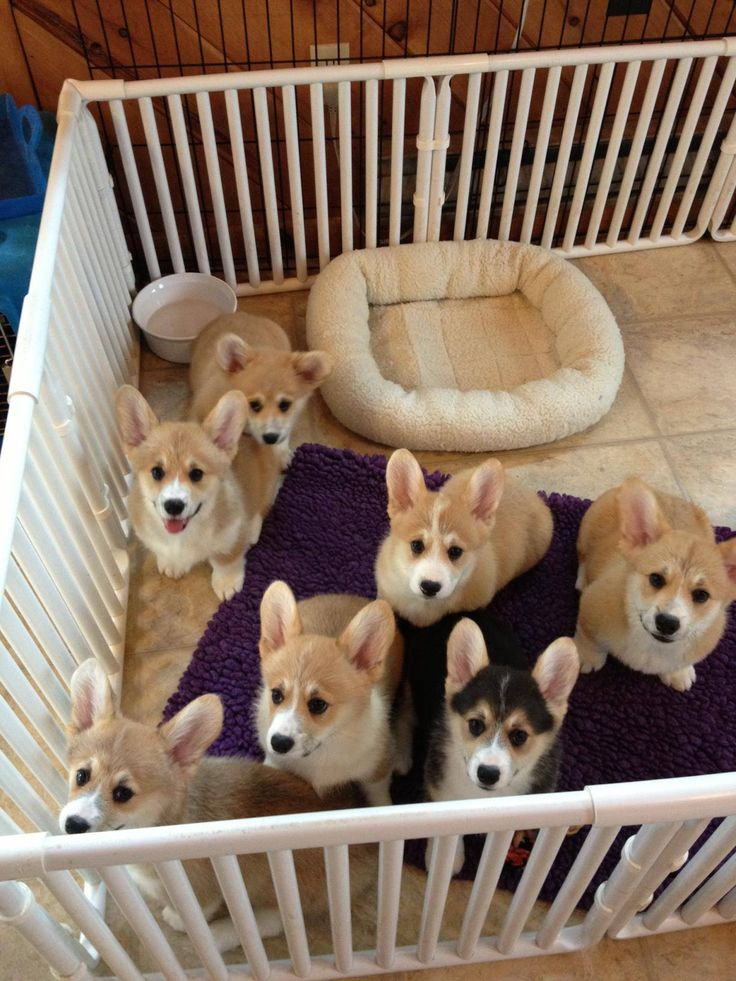 Corgi puppies! They almost look like little bunnies. :)