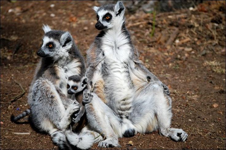 Johnny Morris Ring Tailed Lemur