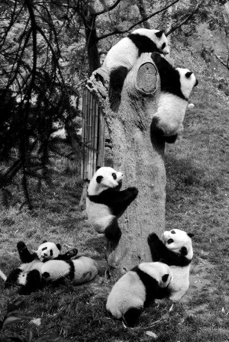 Pandas @Caitlin Strickland