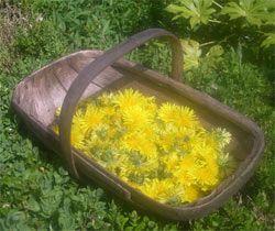 Don't miss the dandelions. Gilbert's dandelion wine recipe