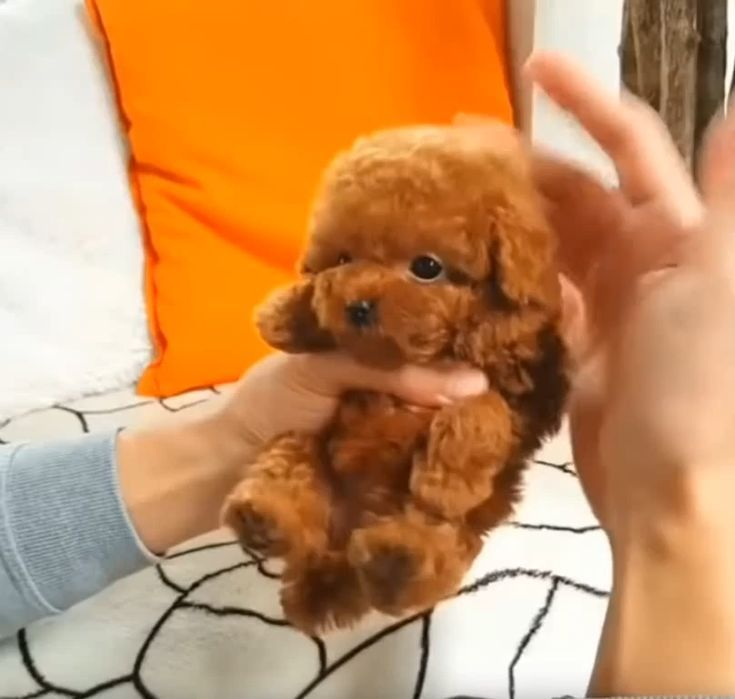 Puppies For Sale Near Me Puppies In 2020 Teacup Poodle Puppies Really Cute Dogs Toy Poodle Puppies