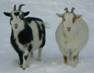 Horned & Naturally Polled Genetics In Goats Polled = born ...