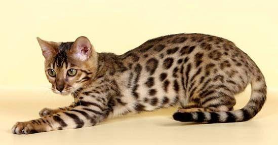 леопардовая бенгальская кошка - фото кошек разных пород