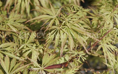 2007 Best Images About Acer Palmatum On Pinterest Scarlet Red Dragon And Green Leaves