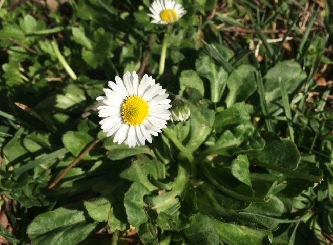 20cm kadar boylanabilen, çok yıllık, otsu bir bitkidir. Köksaplıdır, toprak seviyesinde tek noktadan yükselir. Yapraklar 2-5cm uzunlukta, ters yumurta şeklinde, küt veya sivri uçlu, kenarı tam veya uca doğru 5 sığ dişli, her iki yüzü de tüylüdür. Yapraklar yere paralel olarak (yatık) gelişirler. Çiçeklenme Mart-Ağustos ayları arasında gerçekleşir. Çiçekler tekil olarak 15cm`lik dik bir sap ucunda, 2-3cm çapında, beyaz taç yapraklıdır. Taç yaprakların uçları sıklıkla kırmızı veya…