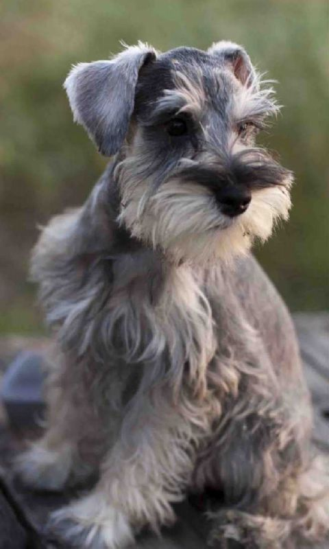 Mini Schnauzer Live Wallpaper - Android Apps on Google Play
