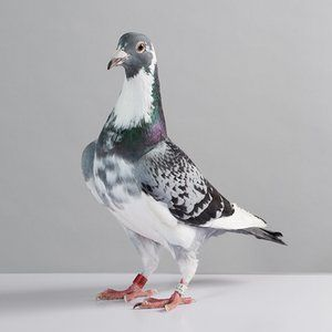 Pigeons are a manageable size, but they like to fly away. The bird shown here…