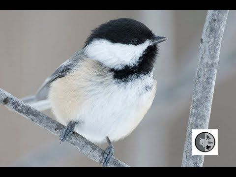 Birds of Quebec: Black-capped Chickadee, White-breasted Nuthatch and Red...