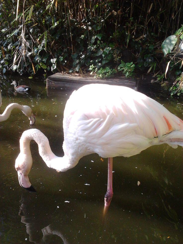 Flamingo, Roof Gardens Kensington