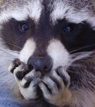 """""""Raccoon Hands"""" by Kim Novotny: This photograph is of my pet raccoon. // Buy prints, posters, canvas and framed wall art directly from thousands of independent working artists at Imagekind.com."""