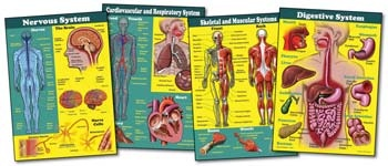Decorate your classroom walls with a full-sized bulletin board set that gets students excited about science. The Human Body Bulletin Board Set features 4 charts that are filled with vocabulary words and informative illustrations. Explore the nervous system, cardiovascular and respiratory systems, skeletal and muscular systems, and the digestive system with this great set! Picture above may not represent a full set.