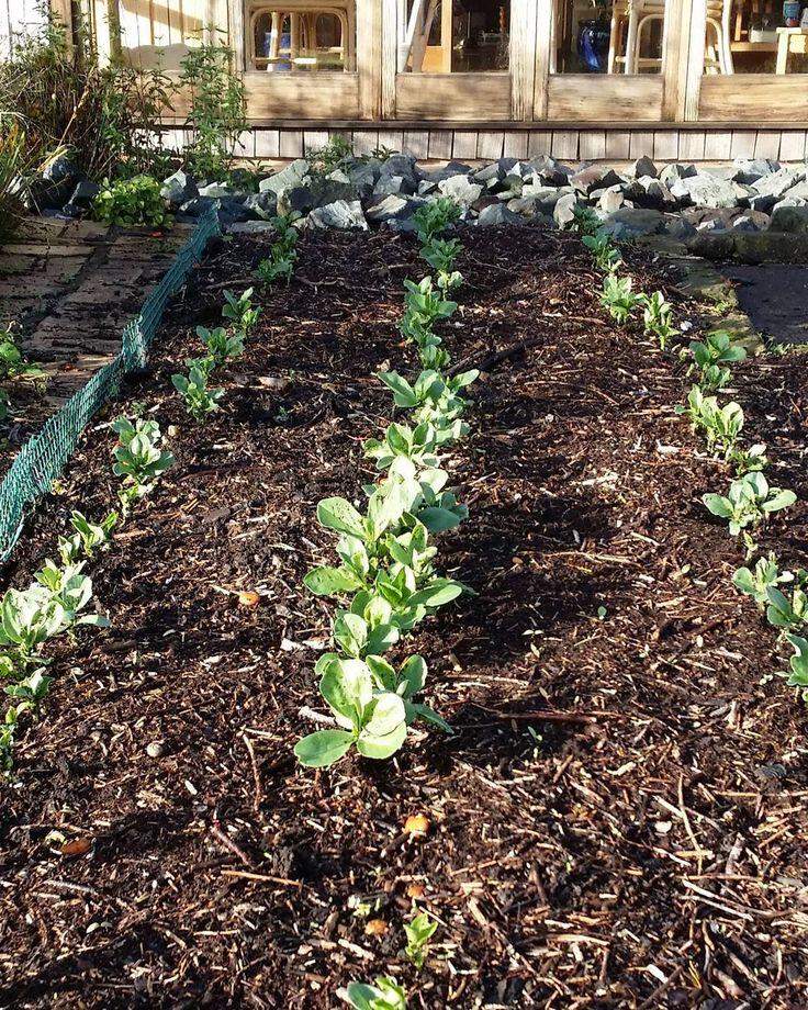 Winter crop of broad beans making its appearance #garden #newzealand