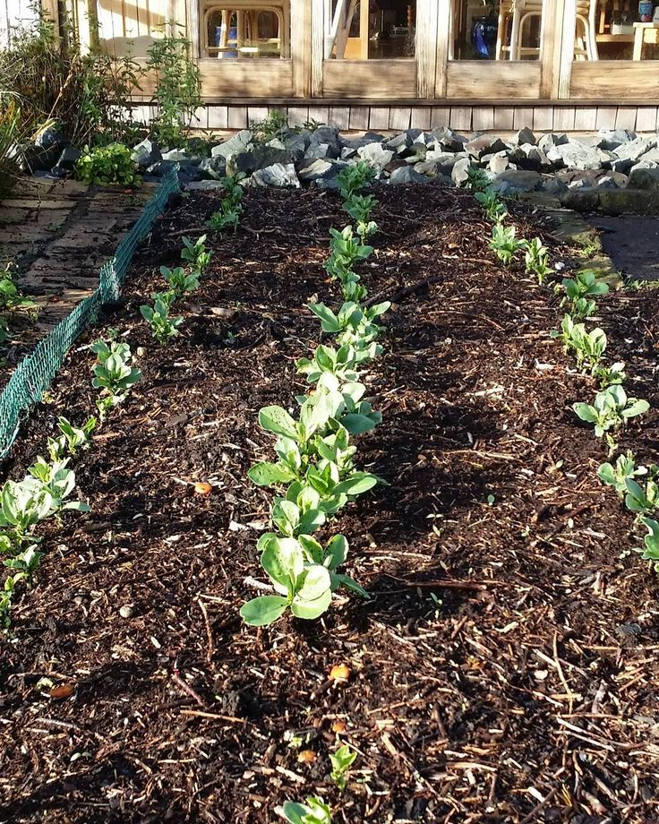 Winter crop of broad beans making its appearance #garden #newzealand