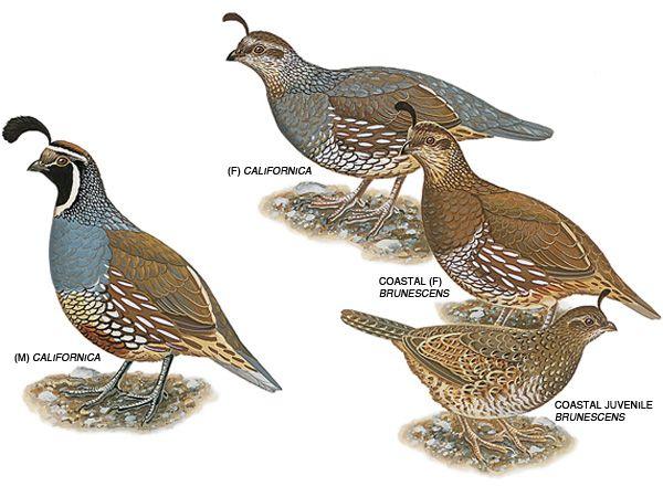Illustration: California quail