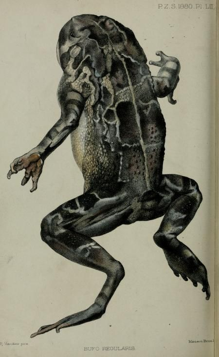 Frog illustration from the periodical, Proceedings of the Zoological Society of London, 1880