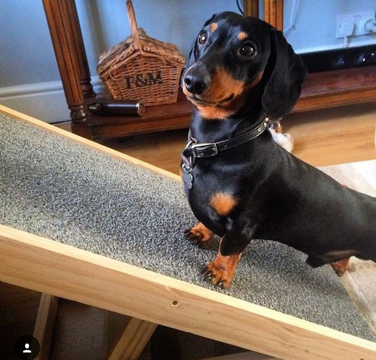 Protect your dachshund back with our DachRamp, a pet ramp with adjustable…