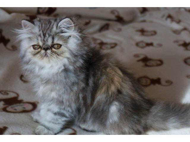 Pisici persane cu certificat pedigree Constanta - Anunturi gratuite - anunturili.ro