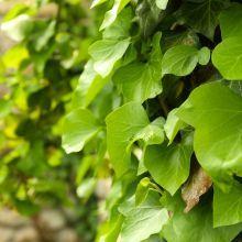 Szczepionka mikoryzowa (mikoryza) - borowik szlachetny - maślak zwyczajny - podgrzybek brunatny - jadalne grzyby leśne